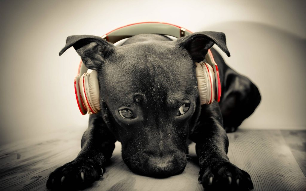 animals dogs gray headphones music selective coloring