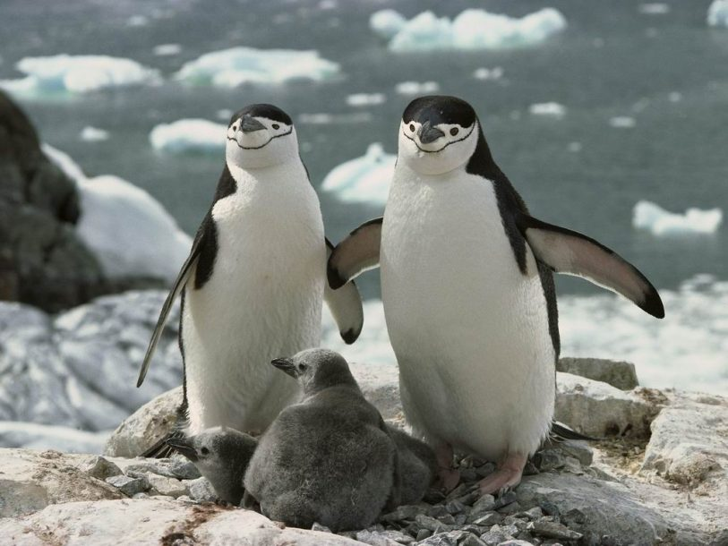 Birds two penguins and chicks wallpaper