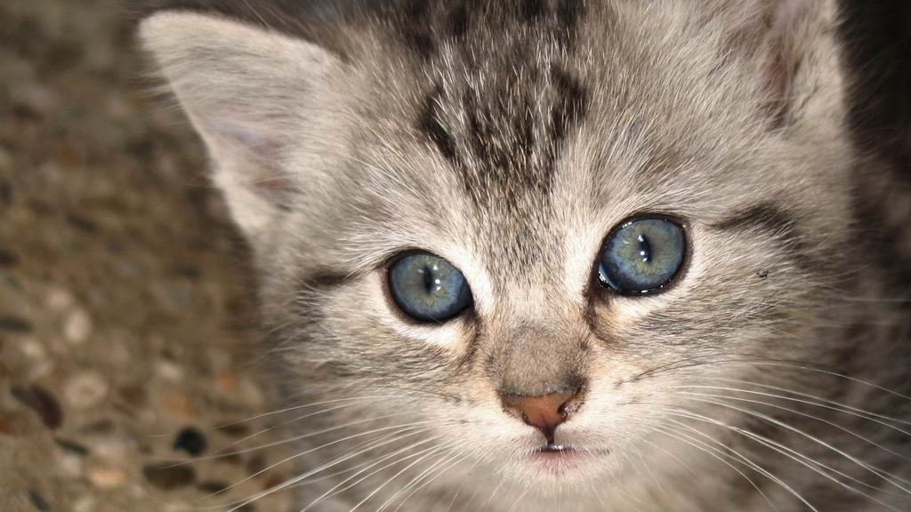 Cats grey cat with blue eyes wallpaper