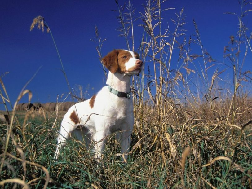 Dogs brittany spaniel wallpaper