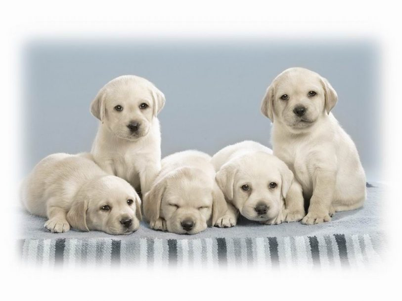 Dogs white puppies wallpaper