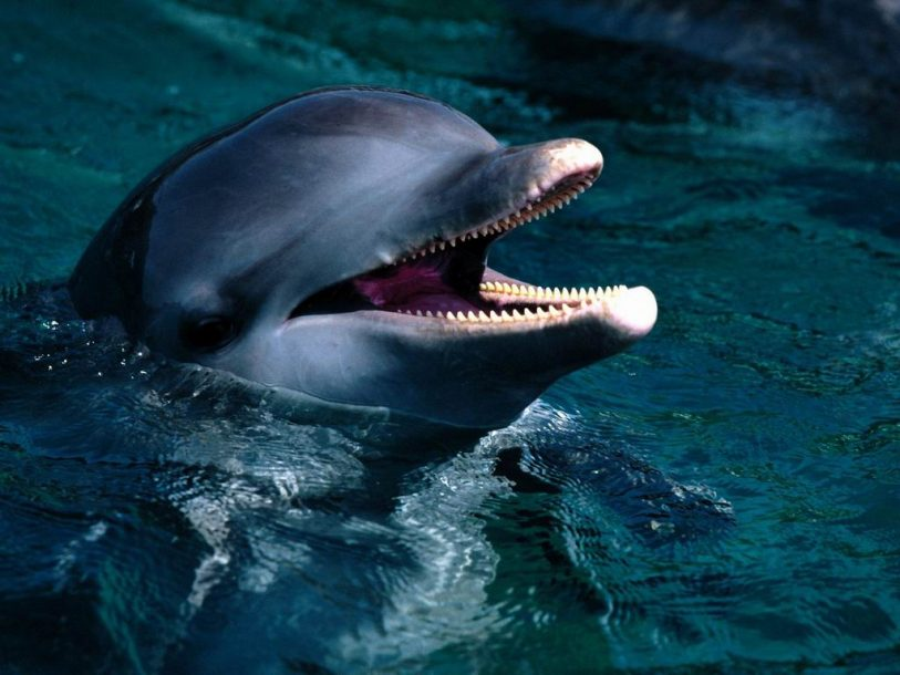 Fish introduction bottlenose dolphin wallpaper
